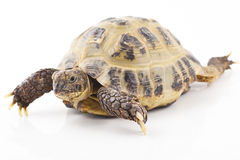 Tortoise. Russian tortoise on a shite background, Focus is shallow royalty free stock photography