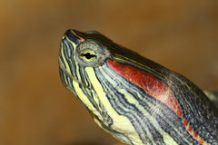 Tortoise. The head close-up of tortoise royalty free stock photography