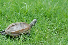 Tortoise. Crawling tortoise in the grass Royalty Free Stock Photography
