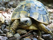 Tortoise 2 royalty free stock photography