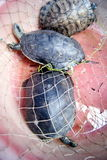 Tortoise. Wild turtle, in the market to sell Royalty Free Stock Photography