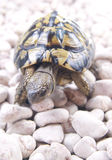 Tortoise. Turtle slow and long-lived animal Royalty Free Stock Image