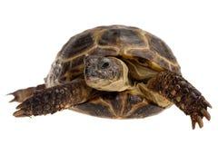 Tortoise. Closeup of domestic tortoise isolated on white Royalty Free Stock Image