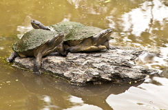 Tortoise. 3 Tortoises are resting on a small rocky island Stock Photos