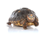 Tortoise. Photo of a young tortoise looking at the camera on a reflectve surface Stock Photos