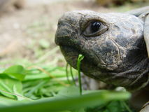 Tortoise. Eating turtle Royalty Free Stock Images