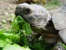 Tortoise. Eating turtle Stock Photo