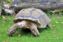 Tortoise. African Spur-thighed Tortoise (Geochelone sulcata royalty free stock photos