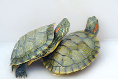 Free Tortoise Royalty Free Stock Images - 26551499