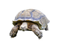 Tortoise. African Spur-thighed Tortoise (Geochelone sulcata royalty free stock images