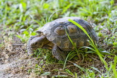 Tortoise Royalty Free Stock Photos