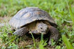 Tortoise. A pet California Desert Tortoise stock image