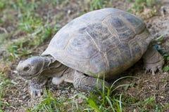Tortoise fotografie stock libere da diritti