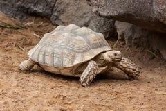 Free Tortoise Stock Photography - 31284542