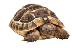 Tortoise. An image of a tortoise isolated over white Stock Images