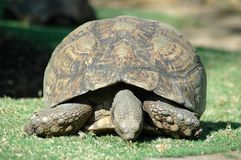 Tortoise. Royalty Free Stock Images