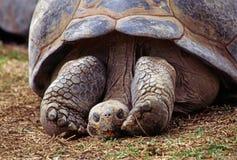 tortoise Obrazy Royalty Free