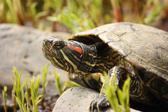 Tortoise. Close-up of tortoise free in the nature Stock Photography