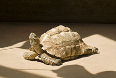 Tortoise. Captured while basking in the warm sunlight stock photography