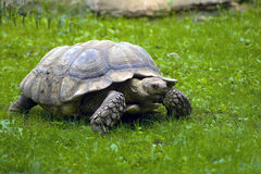 Tortoise. Beautiful turtle eating green grass Stock Photos