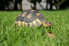 Tortoise. In the grass Royalty Free Stock Images