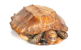 Tortoise. A tortoise emerging from his shell Stock Images