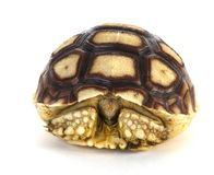 Tortoise. A tortoise hiding inside its shell Royalty Free Stock Photo