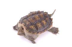 Tortoise. A tortoise on white background Stock Image