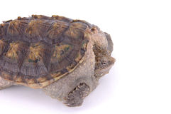 Tortoise. A tortoise on white background Royalty Free Stock Photography