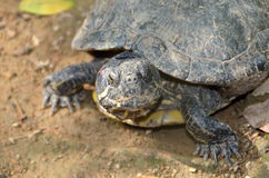 Tortoise. An active moving Tortoise with beautiful expression in the face feeding Stock Images