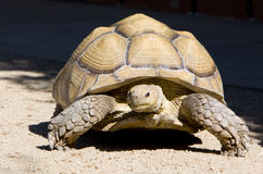 Tortoise African Spurred. An African Spurred Tortoise walking on sandy ground with shadowy black background. The African spurred tortoise, also know as the stock photos