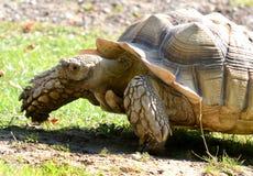Tortoise africano del Dente cilindrico-thighed (sulcata del Geochelone) Fotografie Stock
