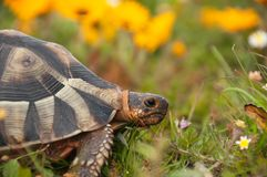 Tortoise amongst the flowers Stock Images
