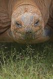 Tortoise łasowania trawa obraz stock
