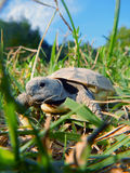 Tortoise baby Royalty Free Stock Images