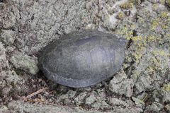 Tortoise on the bark of a tree. Ordinary river tortoise of temperate latitudes. The tortoise is an ancient reptile. Royalty Free Stock Photo