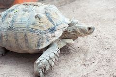 Tortoise. Beautiful Giant tortoise in Thailand Stock Images