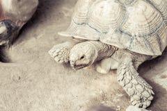 Tortoise. Beautiful Giant tortoise in Thailand Royalty Free Stock Photos