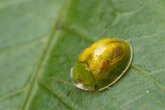 Tortoise beetle. Insect tortoise beetle on leaf Royalty Free Stock Image