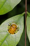 Tortoise beetle Royalty Free Stock Image