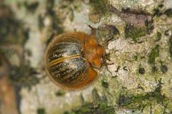 Tortoise beetle. (Cassidinae), Amazon rain forest, Ecuador Stock Photo