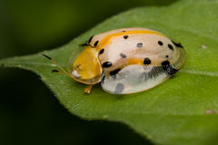 Tortoise beetle Royalty Free Stock Photo