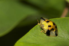 Tortoise Beetle Stock Photo