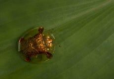 Tortoise Beetle Stock Photos