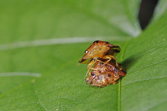 Tortoise beetle mating Royalty Free Stock Image
