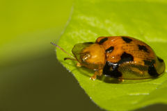 Tortoise beetle Stock Photos