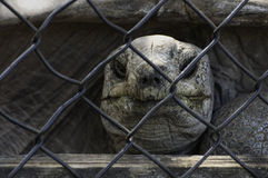Tortoise Behind Bars Royalty Free Stock Photos