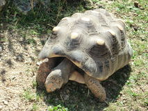 Tortoise. A big tortoise walking on the ground Stock Images