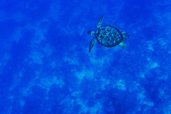 Tortoise in the blue sea Stock Image