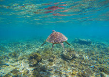 Tortoise in blue water. Olive green turtle underwater photo. Sea animal in coral reef. Coral reef ecosystem with plants and animals. Tropical island vacation Stock Photography